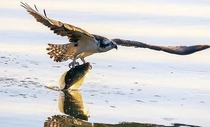 Osprey snatches up fish - Look at those claws
