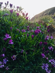 Osteospermum on a cliff top walk at Trebarwith Strand Cornwall England  Some lucky persons garden boundary