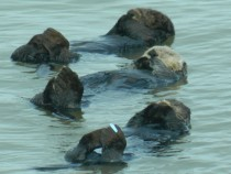 Otter family get-together - Seafood Dinner enhydra lutris -
