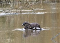 Otter with its catch Photo credit to Dave Harford