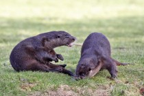 Otters at play lutra lutra -