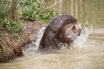 Otters play-fighting probably Lutra lutra -