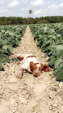Our  Clary Sage crop featuring my lazy Brittany puppy Skeebo