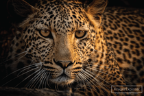 Our stunning self-drive safari leopard encounter in northern Kruger National Park
