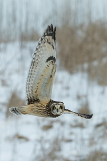 Owl in flight Photo credit to Richard Lee