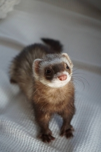 Pablo the ferret x