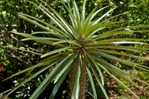 Pachypodium geayi  - originating from Southwest Madagascar - From Leu Gardens Orlando Florida