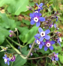 Pacific Hounds Tongue - Cynoglossum grande