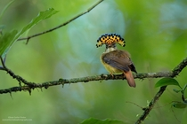 Pacific Royal Flycatcher  x