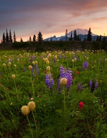 Paintbrush sunset overlooking a meadow of wildflowers at Mt Rainer Photo by Mike Dawson