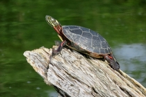 Painted Turtle on Lake Manitou Rochester Indiana USA