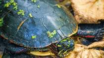 Painted turtle on the hiking trail