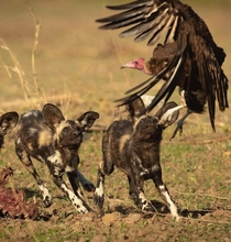 Painted wolf Lycaon pictus juveniles optimistically thinking they can catch a vulture  Jens Cullmann