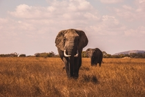 Pair of elephants roaming the grasslands Photo credit to AJ Robbie