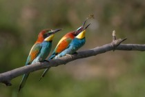 Pair of European bee-eaters
