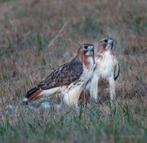 Pair of red tail hawks