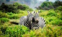 Pair of Zebras