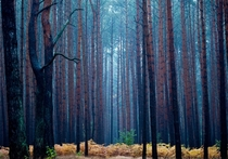 Pale light hangs in a pine forest during a rainy autumn morning near Fuerstenwalde Patrick Pleul