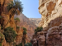Palm trees growing on steep cliffs Wadi Ghuweir Jordan