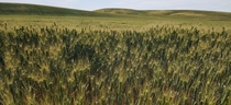 Palouse Wheat Field - South of Harrington Washington US  x