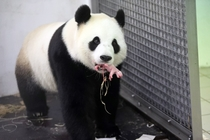 Panda born in Belgiums Pairi Daiza zoo Screaming seemingly well beyond the power of his  gram frame the tiny pink male cub was tenderly cared for washed and cradled by his mother