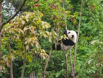 Panda climbing a tree Chengdu China Photo credit to Chester Ho