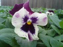 Pansy Purple Matrix