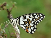 Papilio demoleus the Common Lime Butterfly Kerala India Photo Jeevan Jose