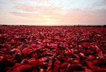 Paprika peppers are air dried after a harvest next to a plantation in the outskirts of Ica Peru