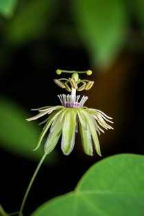 Passiflora lutea yellow passionflower growing near the Meramec River in the Ozarks Each inflorescence blooms for a single day