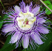 Passiflora passion vine blooms were all over my property last year I cant wait for them to start again