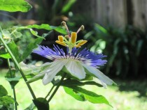 Passion Flower in full bloom