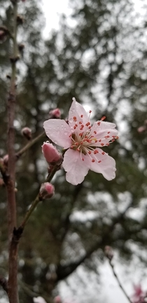 Peach flower after the rain