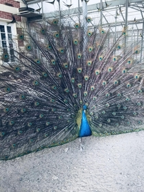 peacock bringing luck