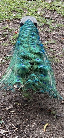 Peacock feathers are beautiful