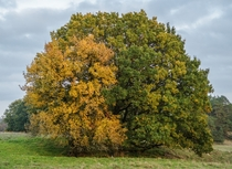 Pear amp oak in autumn colors