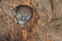 Peeking Owl by Willem Kruger