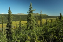Peering through the spruce into the Nenana River Valley  Alaska interior