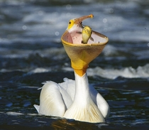 Pelican eating a Catfish