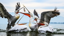 Pelicans fighting for fish Photo credit to Birger Strahl