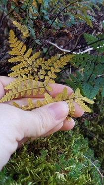 Pentagramma triangularis the goldenback fern