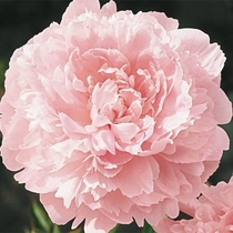 Peony Paeonia lactiflora variety Pillow Talk photographer unknown