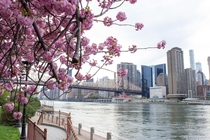 Perfect time to see cherry blossoms in New York City