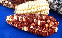 Peruvian Maize