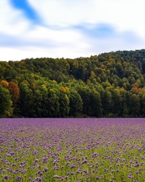 Phacelia flowers for honey production in autumn Germany