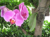 Phalaenopsis Blume - moth orchid planted on the trunk of a tree in Taiwan