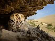 Pharaoh Eagle-owl photo by Husain Alfraid