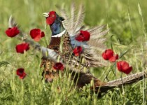 Pheasant among the poppies