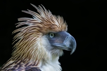 Philippine Eagle Pithecophaga jefferyi