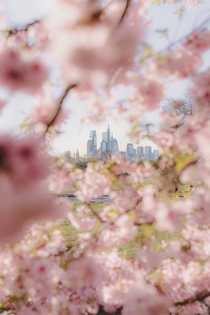 Philly cherry blossoms